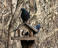 Pigeons. Sitting on birds feeder in forest royalty free stock photo