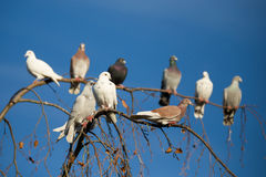 Pigeons sitting on the branch Royalty Free Stock Photo