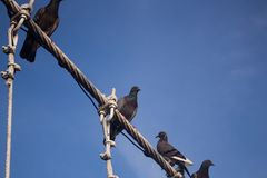 Pigeons sitting on the cable of the bridge Royalty Free Stock Photo