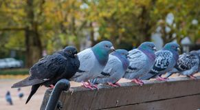 Pigeons sitting on a city park bench on a rainy autumn day royalty free stock photography