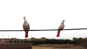 Pigeons. Are sitting on the electric wire Stock Photography