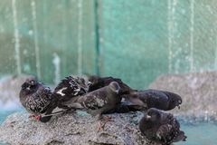 Pigeons sitting on a fountain with fresh water. Wet pigeons sitting on a fountain with fresh water Royalty Free Stock Photo