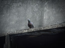 Pigeons sitting on a house roof Stock Photography