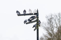 Pigeons sitting on indexes in St Albans, uk Stock Photography