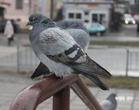 Pigeons. Pigeons sitting on a metallic handle, railings wet after rain, pigeons on a handrail on a city street, emotion dove's eyes and looks disgruntled look stock photo