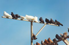 Pigeons are sitting on a pole against the blue sky. Breeding of thoroughbred birds. White, gray and brown pigeons are sitting on a pole against the blue sky royalty free stock image