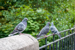 Pigeons sitting on a railing Royalty Free Stock Photos