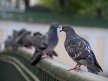 Pigeons sitting on railing of bridge Stock Photo