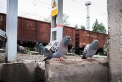 Pigeons sitting on the railway platform on background of freight train cars. Close-up pigeons sitting on the railway platform on background of freight train royalty free stock photo