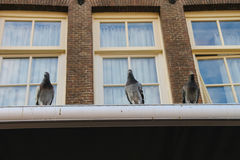 Pigeons sitting on the roof of brick city building with windows Royalty Free Stock Photo