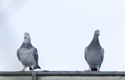 Pigeons. Sitting on the roof of the loft Royalty Free Stock Images