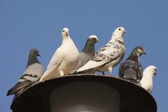 Pigeons sitting on street lantern. Pigeons sitting on a street lantern, Germany royalty free stock image