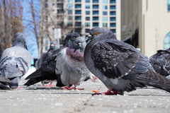 Pigeons. Sitting together on a cold morning in Toronto Royalty Free Stock Photos