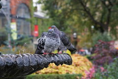 Pigeons. Sitting together on a cold morning in Toronto Stock Photo
