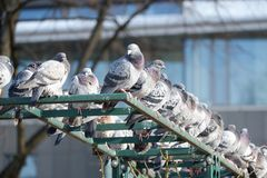 Pigeons are sitting together stock photo