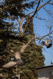 Pigeons sitting on the tree branch Royalty Free Stock Photography