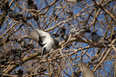 Pigeons sitting on the tree branch Royalty Free Stock Image