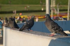Pigeons on the wall Stock Images