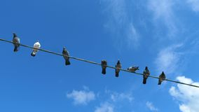 Birds are sitting on the wire. Pigeons are sitting on a wire against the background of blue clear sky with white clouds stock video