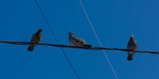Pigeons sitting on wires Stock Photo