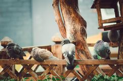 Pigeons are sitting on a wooden fence. royalty free stock photography