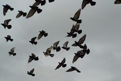 Pigeons in the sky stock photos