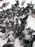 Pigeons in snow Stock Image