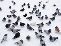 Pigeons in snow. Grey pigeons standing and surviving in white snow during winter time royalty free stock images