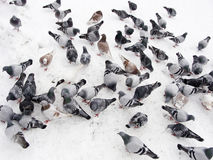 Pigeons in snow Royalty Free Stock Image