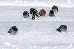 Pigeons on the snow Stock Image