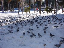 Pigeons on snow in park Royalty Free Stock Photos