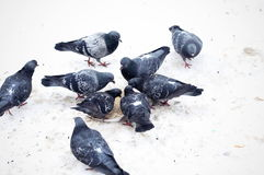 Pigeons on snow. Pigeons pecking crumbs on snow Stock Image