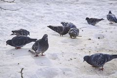 Pigeons on snow in the winter. Stock Image