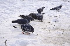 Pigeons on snow in the winter. Royalty Free Stock Images