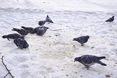 Pigeons on snow in the winter. stock photo
