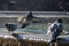 Pigeons splashing in a fountain in Barcelona. Spain Europe Royalty Free Stock Photography