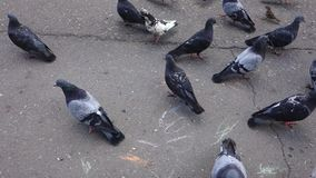 Pigeons on square stock video footage