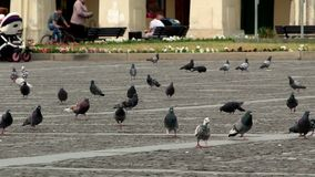 Pigeons on the square 4k. Video stock footage