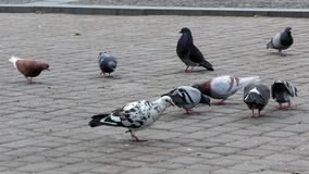 Pigeons on the square 4k. Video stock video footage