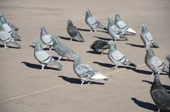 Pigeons in square Stock Image