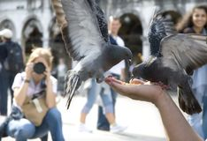 Pigeons of st. marco Stock Image
