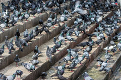 Pigeons on stairs Stock Image