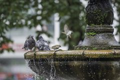 Pigeons stand on the fountain Stock Photography