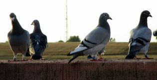 Pigeons standing in different postures. Four pigeons standing on a wall, each have a different posture Stock Photo