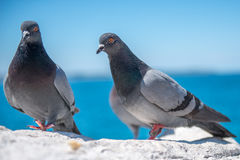 Pigeons standing. Domestic pigeons standing on the rock near the sea Royalty Free Stock Photo