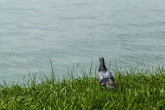 Pigeons standing on the grass with river Stock Photos