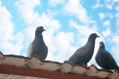 Pigeons standing at the rooftop Stock Photos