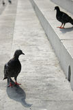 Pigeons Standing on Steps in Florence Italy Royalty Free Stock Images