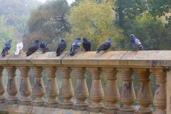 Pigeons standing on  wall Royalty Free Stock Image