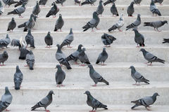 Pigeons on steps Stock Photo